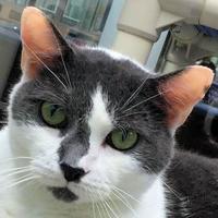 Adopt A Pet :: COW - Houston, TX