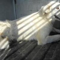 Great Pyrenees/Labrador Retriever Mix Dog for adoption in Opelousas, Louisiana - Dolly