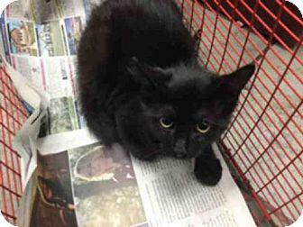 Domestic Mediumhair Cat for adoption in San Antonio, Texas - A443892