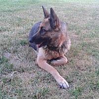 German Shepherd Dog Dog for adoption in Irvine, California - Chiquita