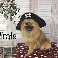 Adopt A Pet :: Pirate - Dallas, TX