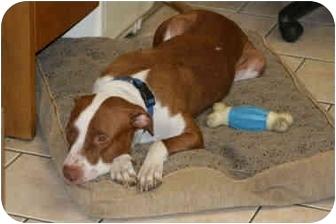 Pit Bull Terrier Mix Dog for adoption in DFW, Texas - Sierra