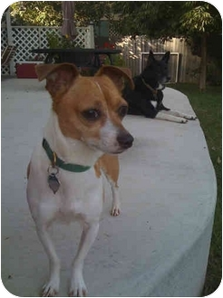Jack Russell Terrier/Chihuahua Mix Dog for adoption in Lakewood, Colorado - Sprocket