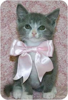 Domestic Mediumhair Kitten for adoption in Ladysmith, Wisconsin - C6705