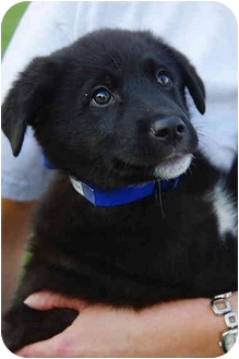 Border Collie/Husky Mix Puppy for adoption in Westminster, Colorado - TIC TAC