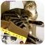 Photo 2 - Domestic Shorthair Cat for adoption in Cedar Creek, Texas - Bella