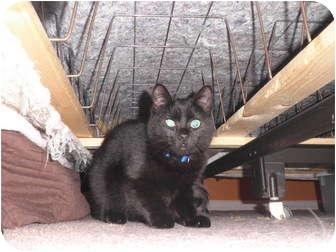Domestic Shorthair Cat for adoption in Warren, Michigan - Leila