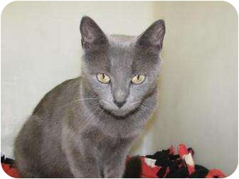 Domestic Shorthair Cat for adoption in Gloucester, Massachusetts - Seneca