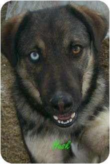 Husky/German Shepherd Dog Mix Dog for adoption in Owingsville, Kentucky - Husk