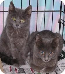 Domestic Shorthair Kitten for adoption in Raritan, New Jersey - Betsy & Brianna