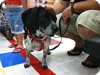 Beagle Dog for adoption in Omaha, Nebraska - Mindy