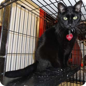 Domestic Shorthair Cat for adoption in Merrifield, Virginia - Nikko