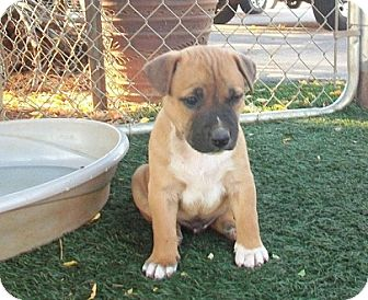 Collie/Shepherd (Unknown Type) Mix Puppy for adoption in Tustin, California - Andy