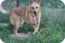 Shepherd (Unknown Type) Mix Dog for adoption in Las Vegas, Nevada - Iggy-N