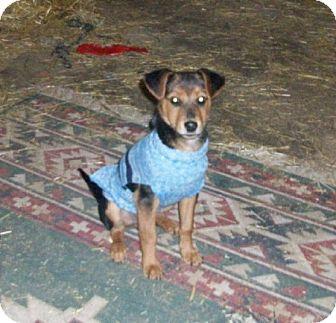 Manchester Terrier/Miniature Pinscher Mix Puppy for adoption in Liberty Center, Ohio - Dean