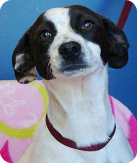 Fox Terrier (Smooth) Mix Puppy for adoption in Red Bluff, California - Gucci