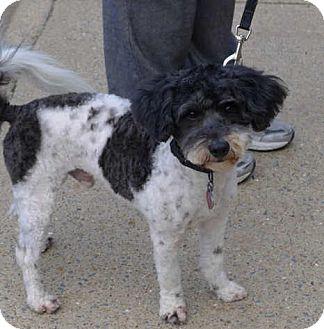 Poodle (Miniature)/Havanese Mix Dog for adoption in Westport, Connecticut - Peluche