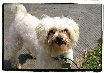 Maltese/Poodle (Standard) Mix Dog for adoption in Elmwood Park, New Jersey - Milo