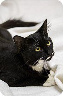 Domestic Mediumhair Cat for adoption in Chicago, Illinois - Luigi