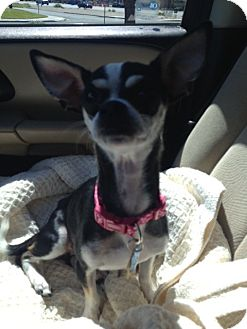 Chihuahua Mix Dog for adoption in Las Vegas, Nevada - Twinkie