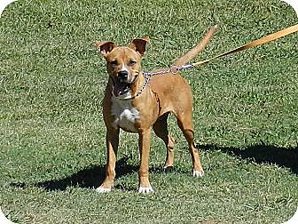 Boxer Mix Dog for adoption in Lawrenceburg, Tennessee - Cliff