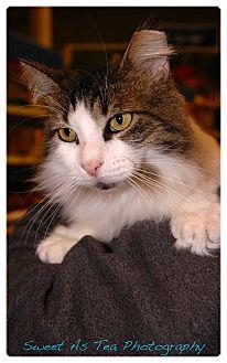 Domestic Longhair Cat for adoption in Gainesville, Florida - Faith