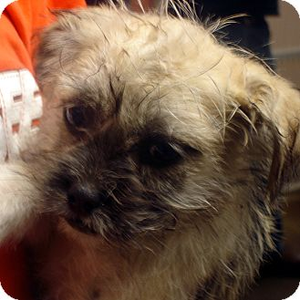 Cairn Terrier/Airedale Terrier Mix Puppy for adoption in Greencastle, North Carolina - Echo