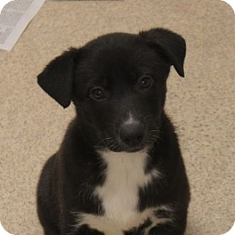 Labrador Retriever Mix Puppy for adoption in Naperville, Illinois - Duncan