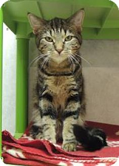 Domestic Shorthair Cat for adoption in Westville, Indiana - Zack