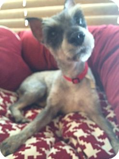 Schnauzer (Miniature) Mix Dog for adoption in East Hartford, Connecticut - Weldon ADOPTION PENDING