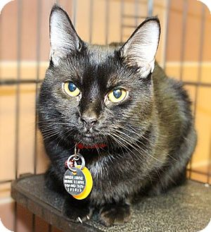 Domestic Shorthair Cat for adoption in Port Washington, New York - Honey