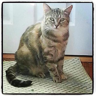 Domestic Mediumhair Cat for adoption in Jamaica Plain, Massachusetts - Roxanne
