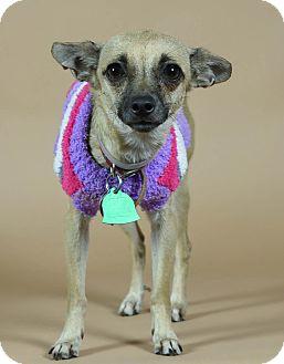 Chihuahua Mix Dog for adoption in Port Washington, New York - Nuala
