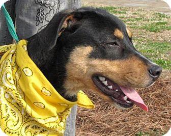Rottweiler/Boxer Mix Dog for adoption in Port St. Joe, Florida - Kelvin