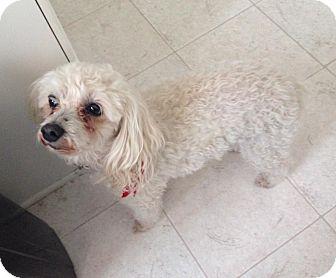 Poodle (Miniature)/Maltese Mix Dog for adoption in Allentown, Pennsylvania - Sugar