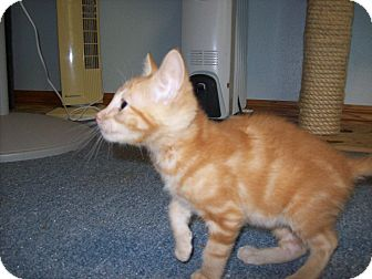 Domestic Shorthair Kitten for adoption in Stockton, Missouri - Mark