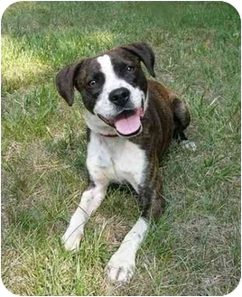 Boston Terrier/Beagle Mix Dog for adoption in Mocksville, North Carolina - Buster