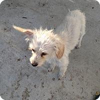 Adopt A Pet :: Shana - Simi Valley, CA