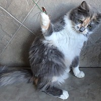 Domestic Mediumhair Cat for adoption in Seguin, Texas - Daffodil