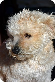 Toy Poodle Mix Dog for adoption in Mountain Center, California - Julio