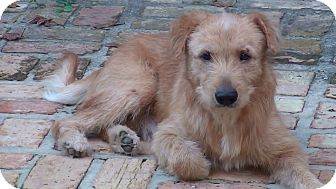 Wheaten Terrier Mix Dog for adoption in SOUTHINGTON, Connecticut - Truffles