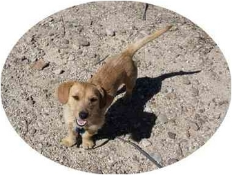 Dachshund/Jack Russell Terrier Mix Dog for adoption in Thatcher, Arizona - Zoey