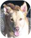 Shepherd (Unknown Type) Mix Dog for adoption in Eatontown, New Jersey - Christian