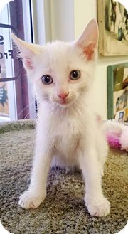 Domestic Shorthair Kitten for adoption in Beaumont, Texas - Fred
