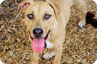 Boxer/Pit Bull Terrier Mix Dog for adoption in Stamford, Connecticut - A - DELILAH
