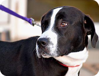 Labrador Retriever Mix Dog for adoption in Indiana, Pennsylvania - CASH