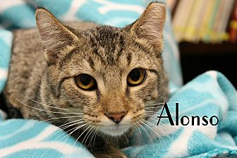 Domestic Shorthair Cat for adoption in Wichita Falls, Texas - Alonso