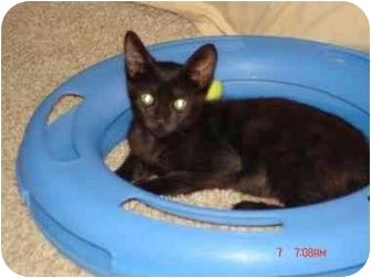 American Shorthair Kitten for adoption in Poway, California - baby dolls