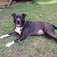 Staffordshire Bull Terrier Mix Dog for adoption in Atlanta, Georgia - SAHA