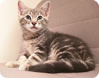 American Shorthair Kitten for adoption in Brooklyn, New York - Beyonce*